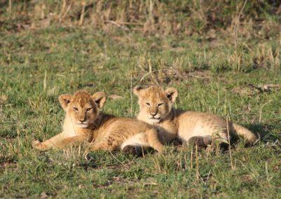 lion-cubs-3017642_640