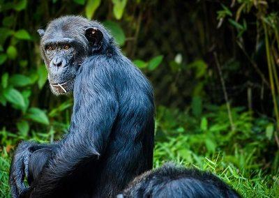 chimpanzee-1545010_640