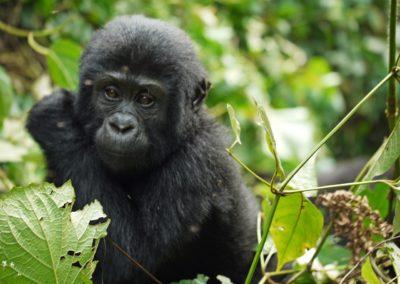 gorilla-1541424_1280