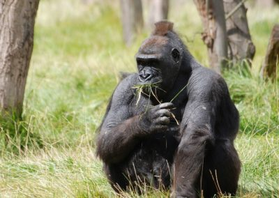 mountain-gorilla-416772_1280
