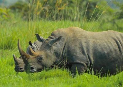rhino-2878222_1280
