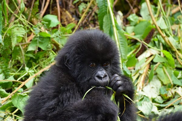 Mountain Gorillas in Uganda – what a privilege